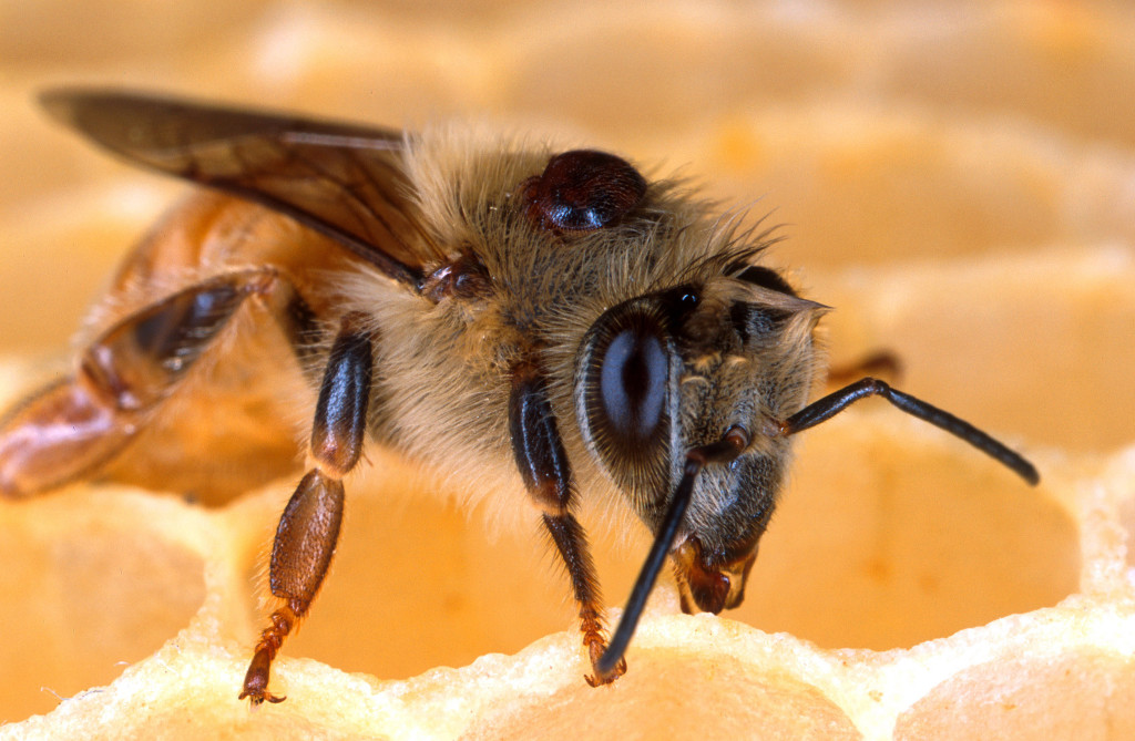 The parasitic varroa mite has infested hives throughout the world, weakening bees' immune systems and exposing them to diseases.