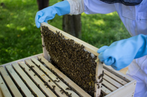 Since the mid-2000s, beekeepers have noticed up to 30 percent of their hives dying each winter.