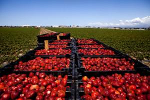 Las fresas ocupan menos del 1% del total de las tierras de cultivo en California pero representan al menos 8% de los pesticidas usados en el estado.