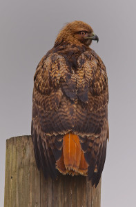 "Red-tailed hawks are among the migratory birds that have been killed under the federal ""depredation permit"" program."