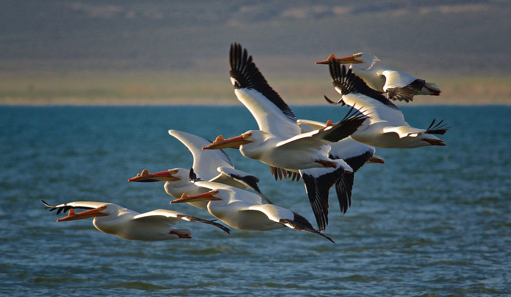 "Most of the birds killed under the federal ""depredation permit"" program, including white pelicans, have stable populations and aren't in any biological danger."