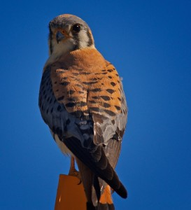 "American kestrels are among the migratory birds that have been killed under the federal ""depredation permit"" program."