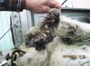 Steel-jaw traps can inflict serious injuries to wildlife. This mountain lion was maimed by a trap set to catch bobcats in Nevada.