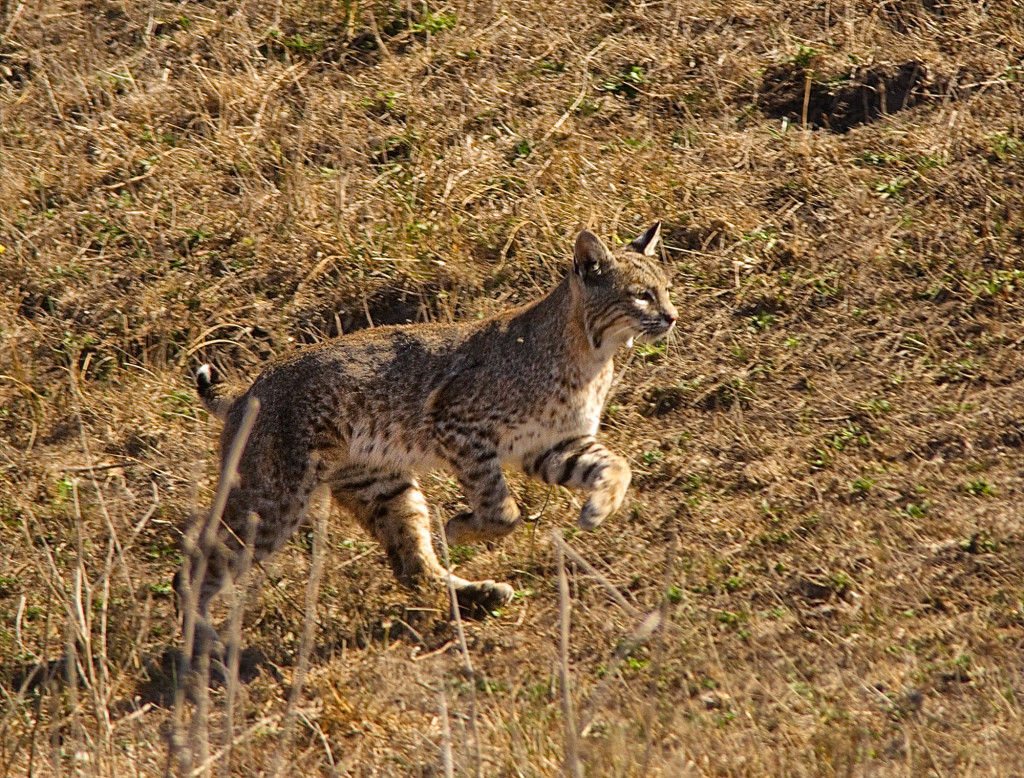 bobcat-at-point-reyes--10-42-281-of-1