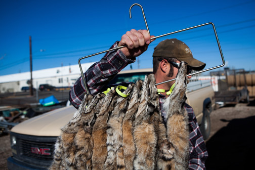 A trapper carries bobcat pelts tagged by the Nevada Department of Wildlife. The number of bobcat pelts exported from the U.S. has quadrupled in recent years, climbing to more than 65,000 in 2013.