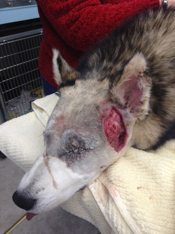 Body-grip traps are designed to be lethal but sometimes injure and cripple instead. This gash was inflicted on Kobe, a 7-year-old husky, as he struggled to pull his head out of one of these traps.