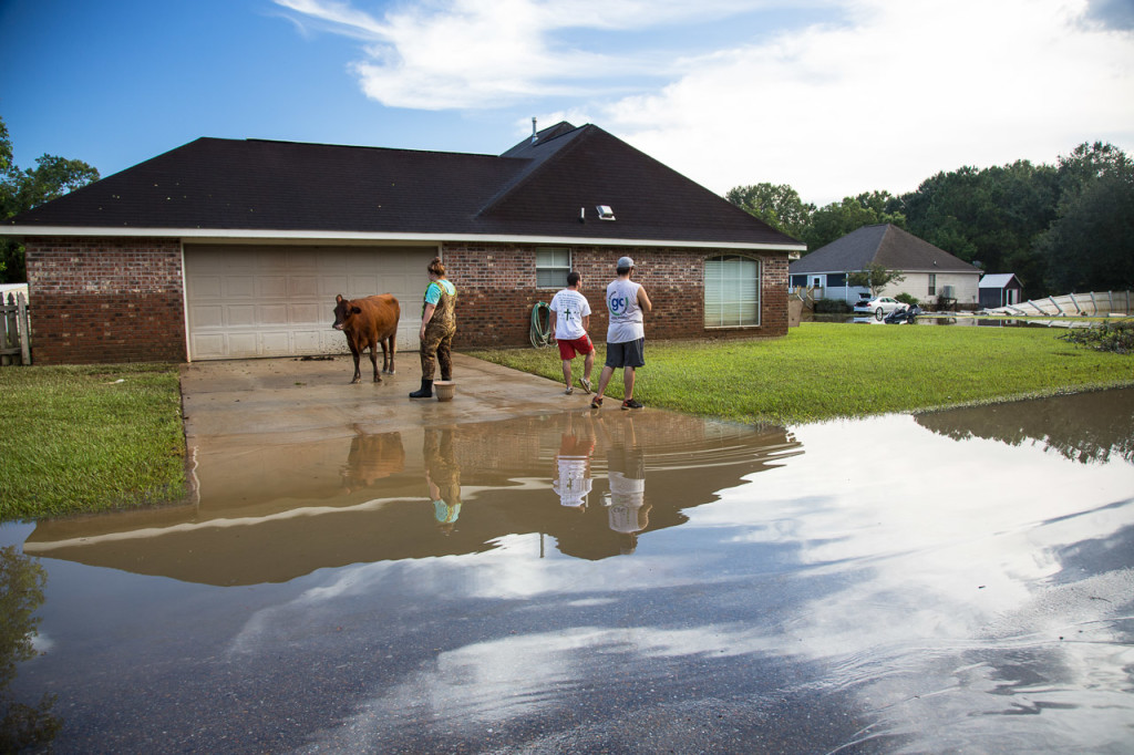 Three people in Denham Springs, Louisiana, encounter a cow that lost its way on Aug. 15.