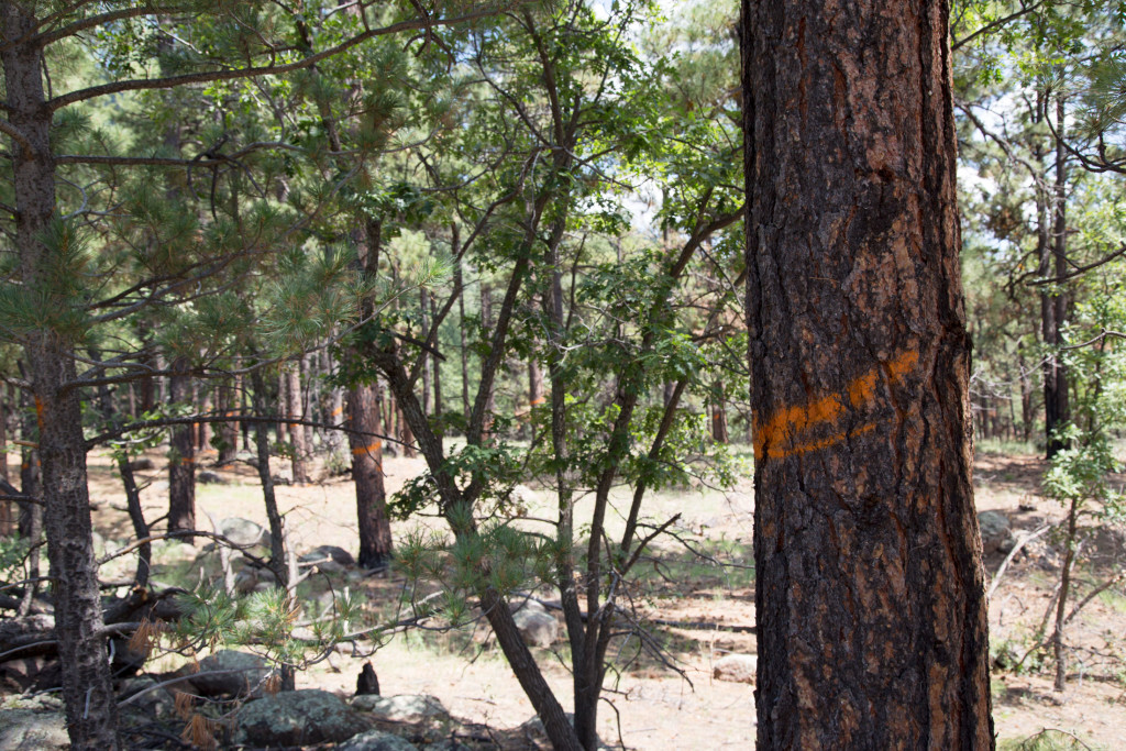 "In the forest near Flagstaff, orange marks signal crews to spare these older, established trees. That procedure runs counter to traditional logging, in which the older, more marketable trees are harvested. Crews work to create what they call a ""clumpy-groupy"" landscape, leaving open spaces between clusters of trees."