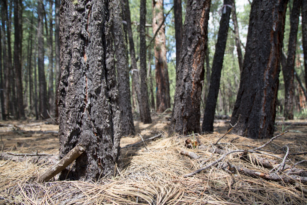 An unhealthy forest is known as a dog-hair thicket because it is dense, like the hair on the back of a dog. This forest is prone to fire because the smaller, thinner trees are more likely to burn and allow fires to climb. Once a fire gets into the tops of trees, it becomes what is known as a crown fire, which spreads by hopping from tree to tree.