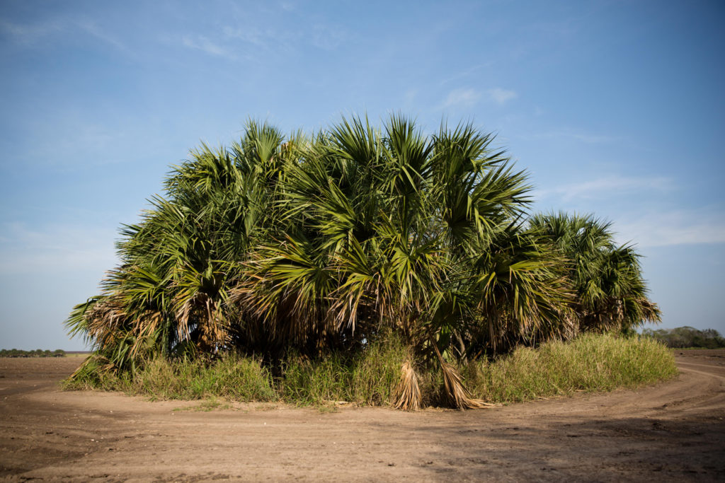 The Nature ConservancyÕs Southmost Preserve in far South Texas is home to some of the last remaining stands of sabal palm forest in the country. The lush, subtropical ecosystem Ñ prime habitat for endangered wild cats like the ocelot and jaguarundi Ñ once flourished in the region but has been almost totally cleared for agriculture or urban development.