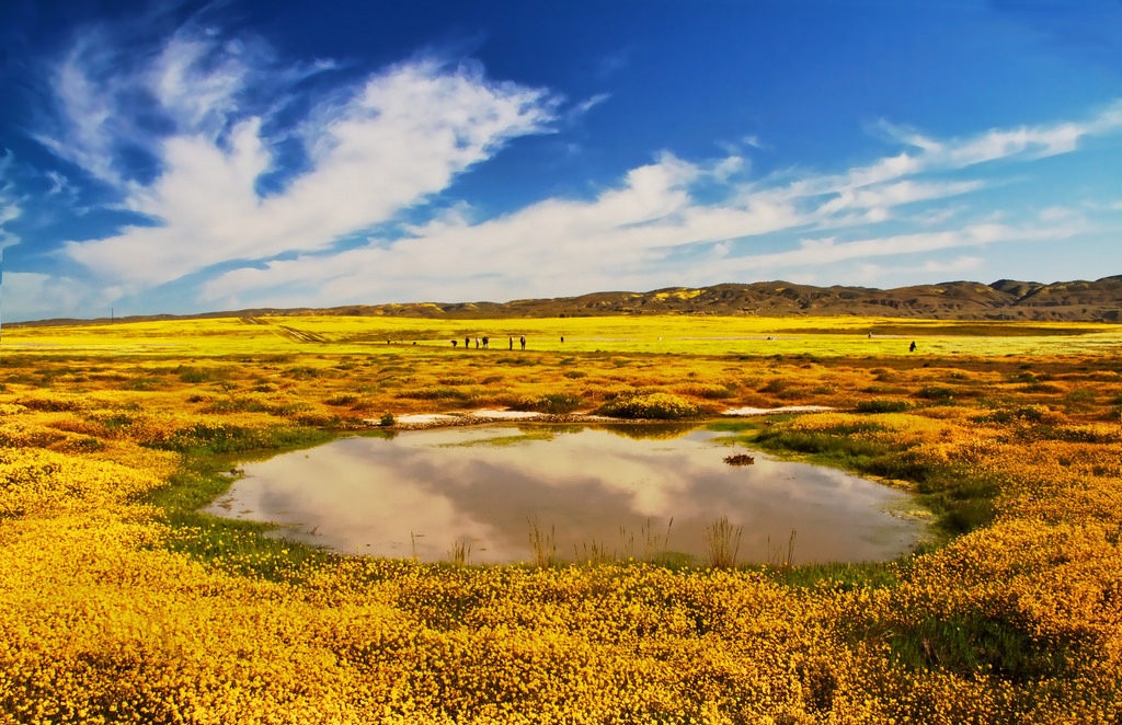 Wildflowers surround a vernal pool in the Carrizo Plain National Monument in California's Central Valley. These seasonal pools slow runoff, store water and filter sediment. Salamanders, frogs and other creatures rush to complete their lifecycles before the water dries up.