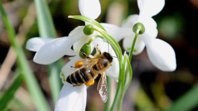 A bee sits on a white flower