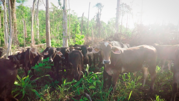 A group of cows roams on a sunny patch of land that's rich with green leaves and trees.